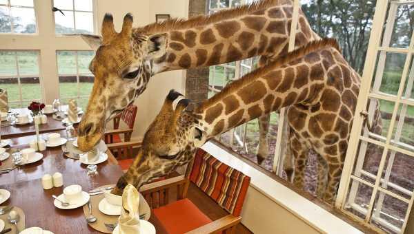 Giraffe Manor, Kenija2